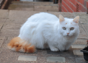 Domestic Long Hair Cat
