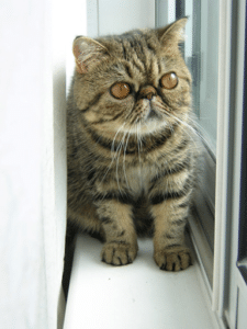 Exotic Shorthair Cat
