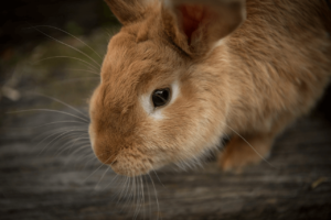 Other Factors to Consider in a Pet Rabbit Lifespan