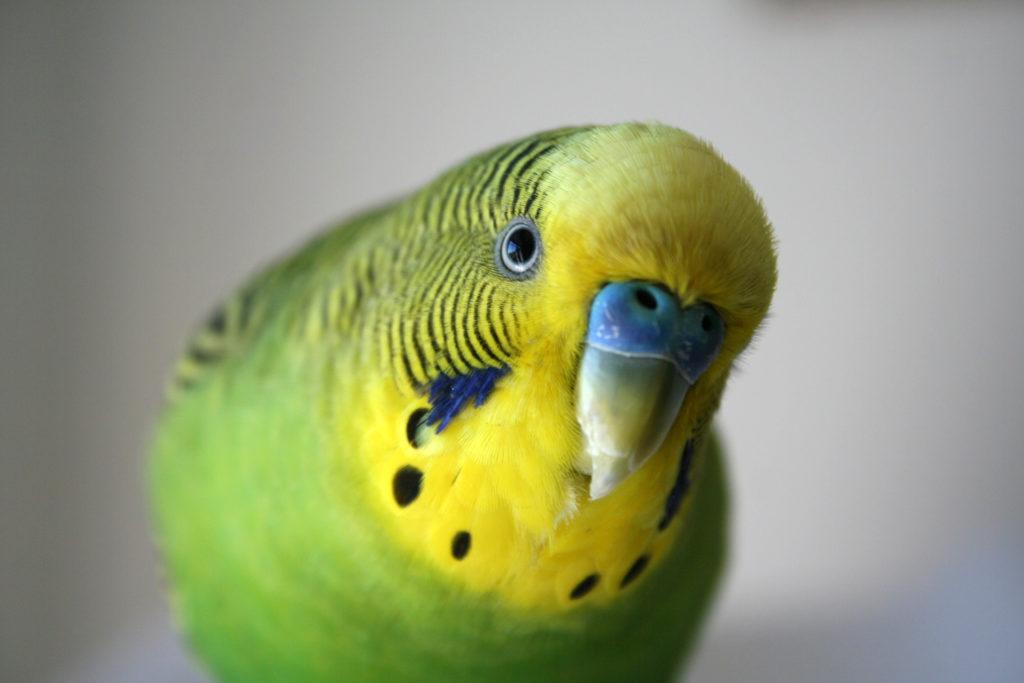 Bird Parakeets