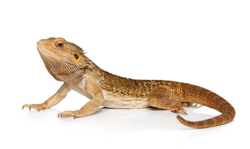 Easiest Pet Reptiles