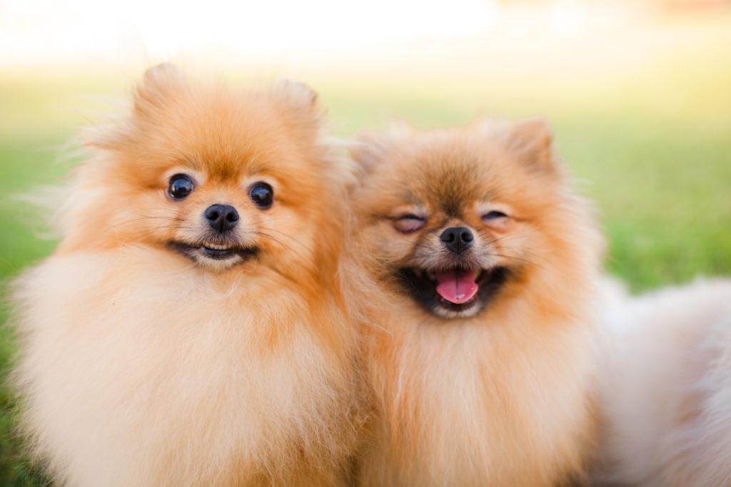 Fluffy Dog Breeds: Pomeranian