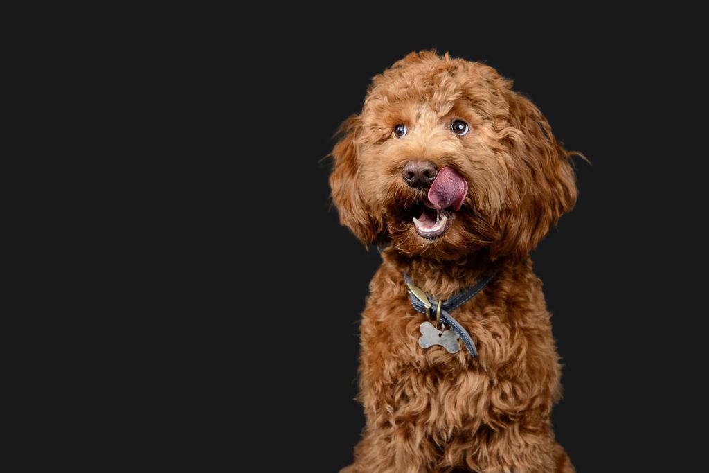 Fluffy Dog Poodle