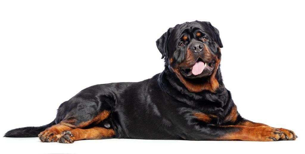 Healthiest Dog: Rottweiler
