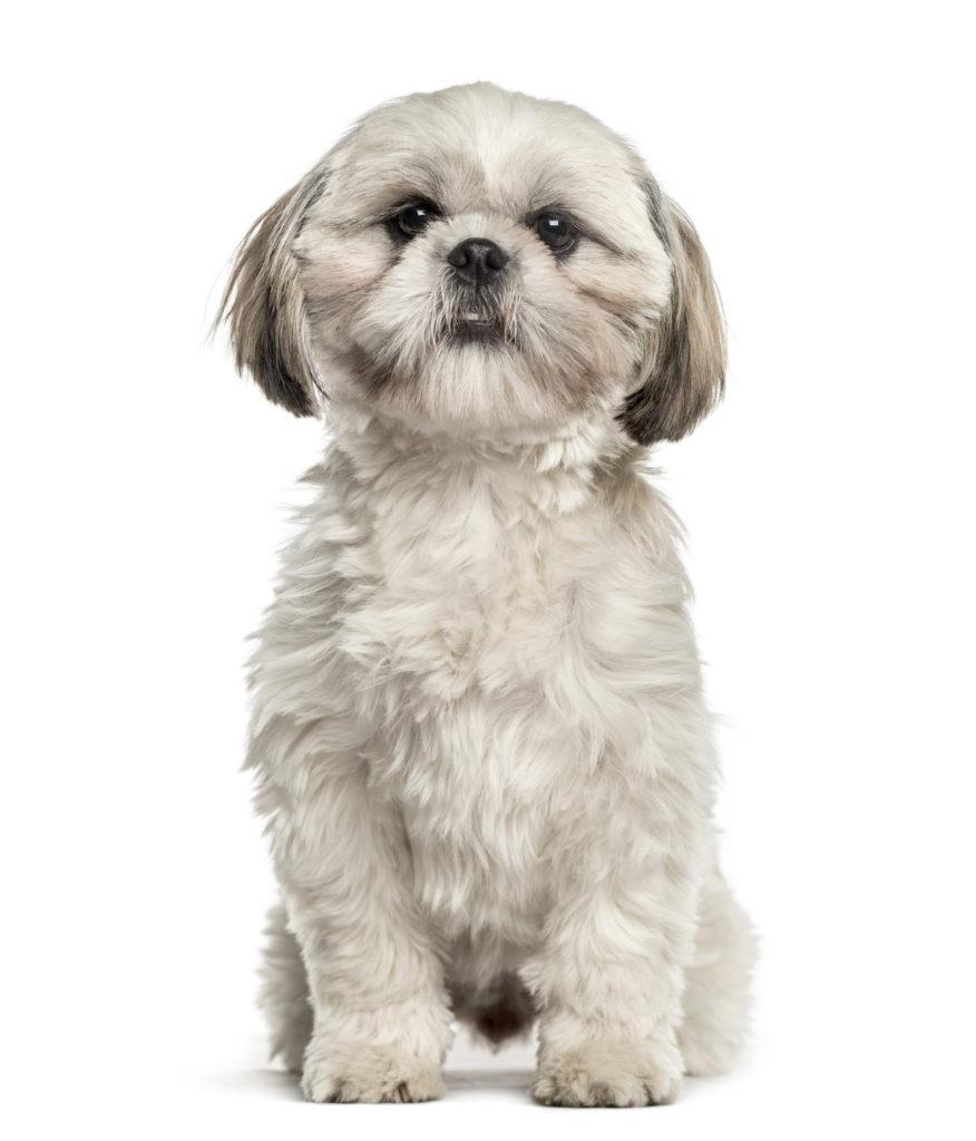 Healthiest Dog Shih Tzu