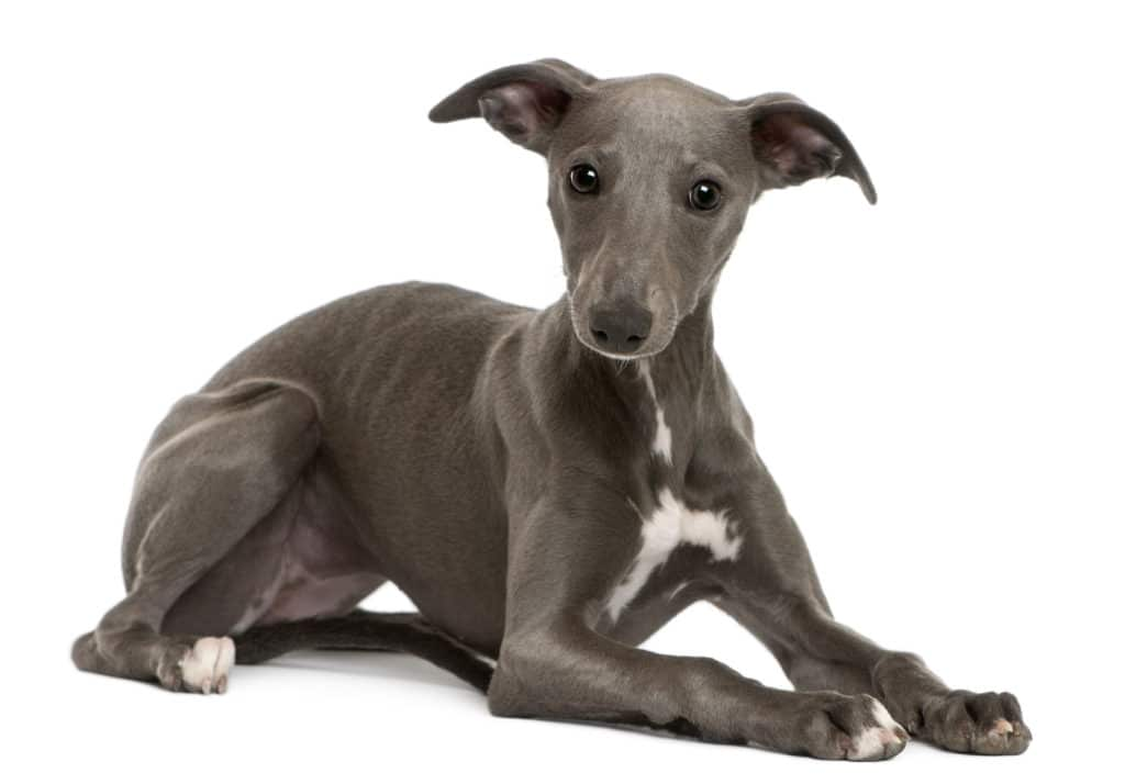Healthiest Dog Whippet