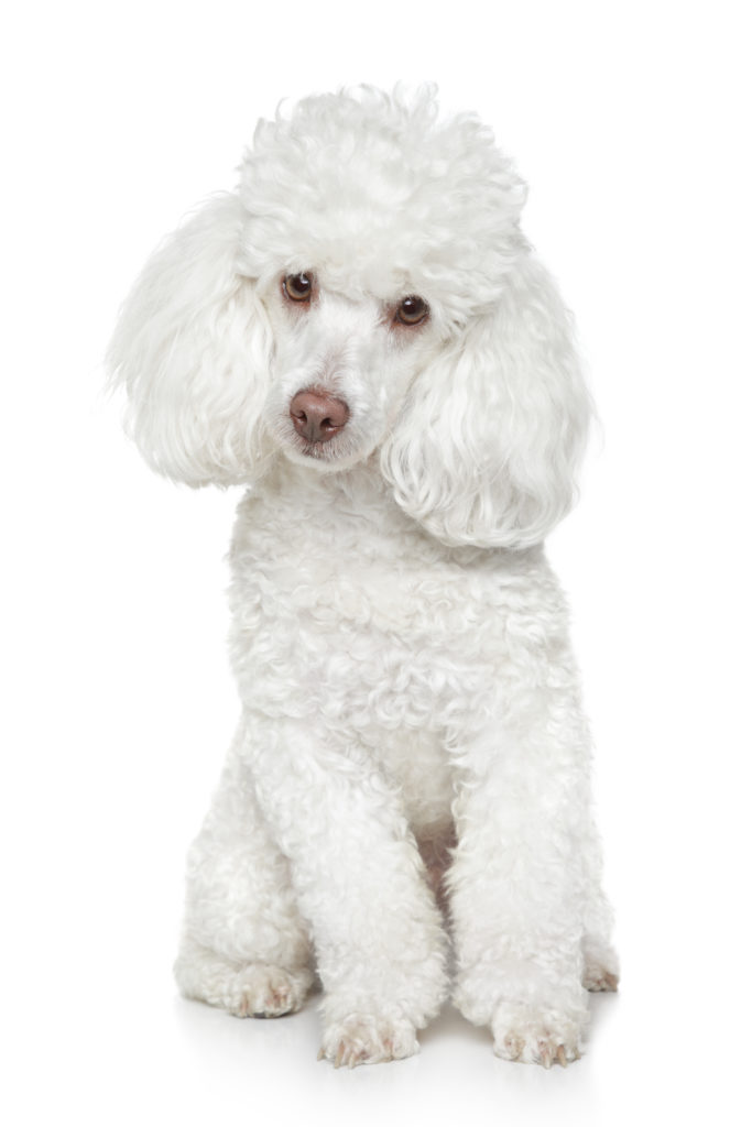 Healthiest Dogs Poodles
