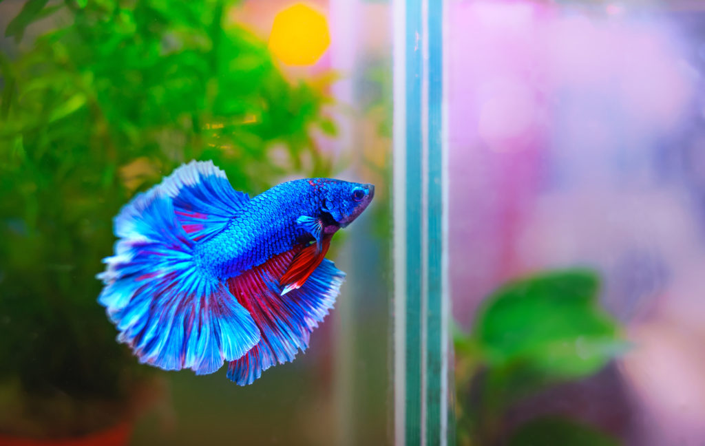 How Are Betta Fish Different From Other Fish?