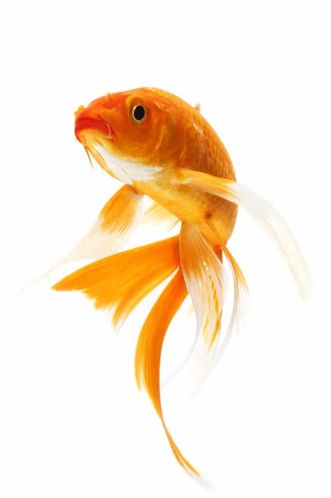 The Easiest Pet Fish