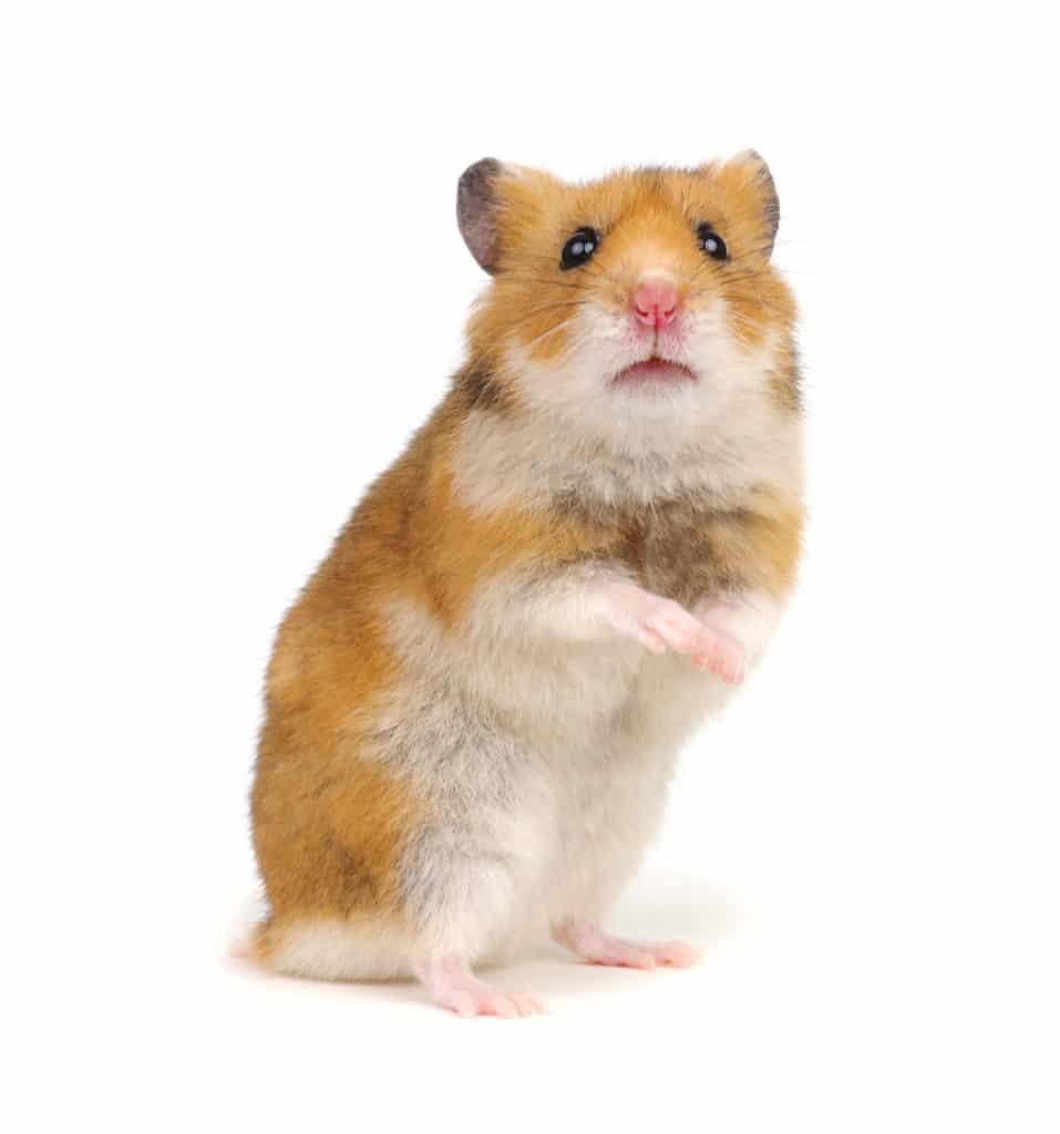 The Easiest Pets-Hamsters