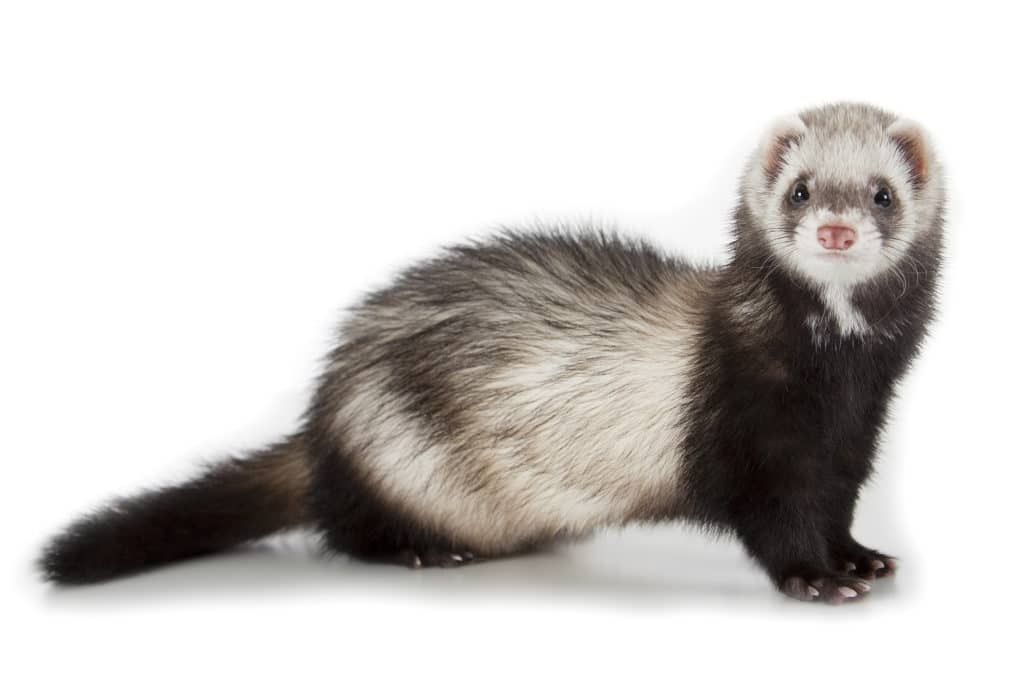 The Easiest Pets to Take Care Of: Ferrets