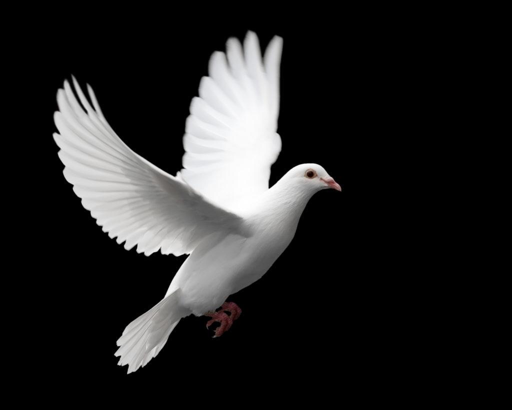 Types of Pet Birds: Doves