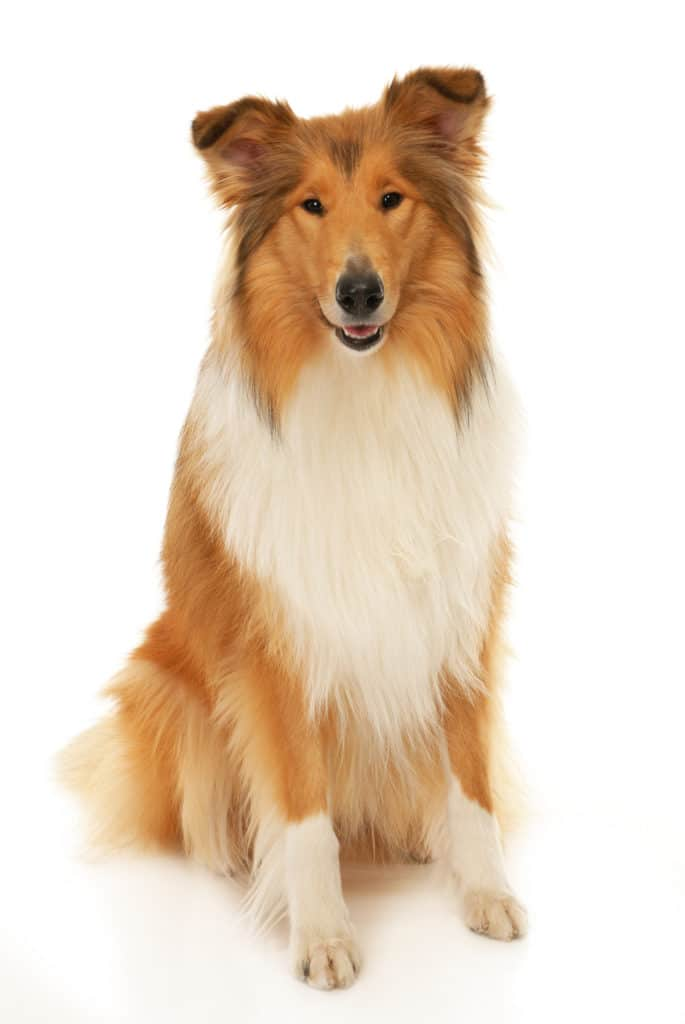Big Dog Collie