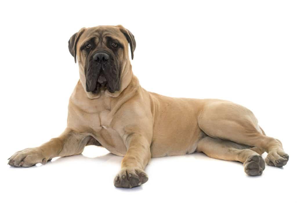 Big Dog Mastiff