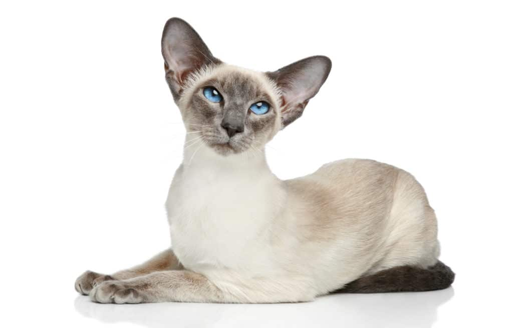 Cat Blue Point