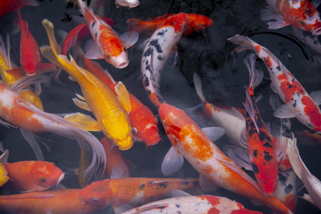 Origin of the Koi Fish