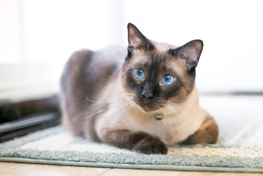 Siamese Cat Seal Point