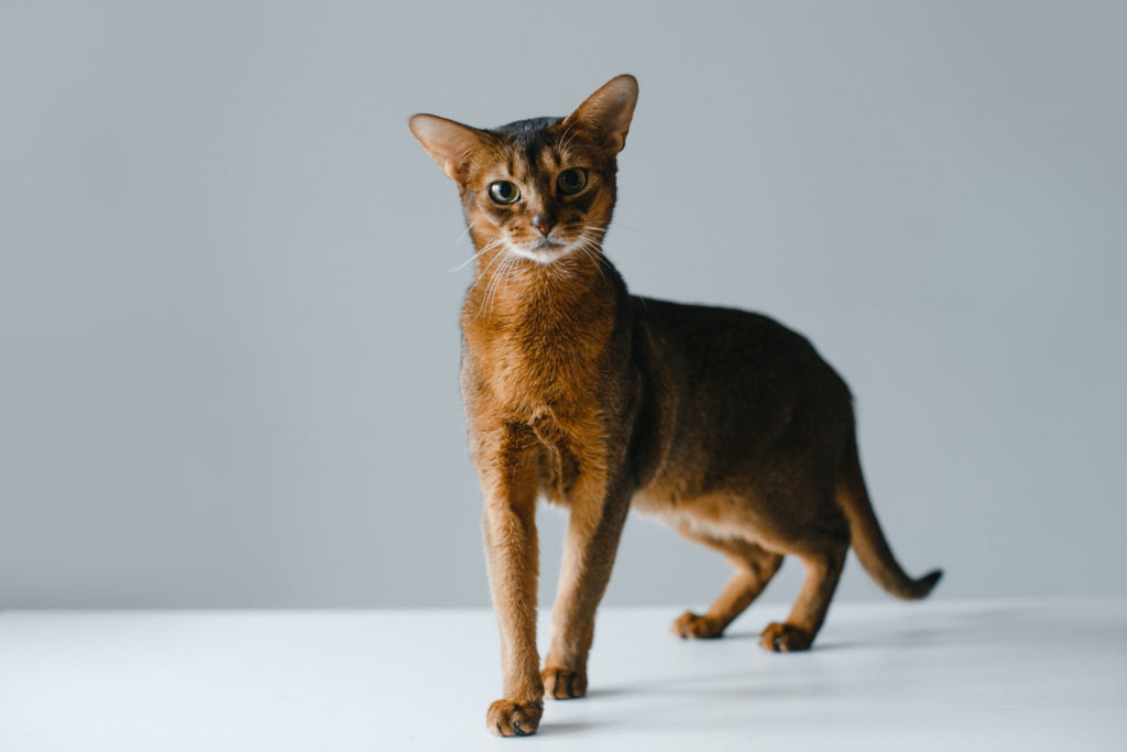 Tabby Cat Breeds: Abyssinian