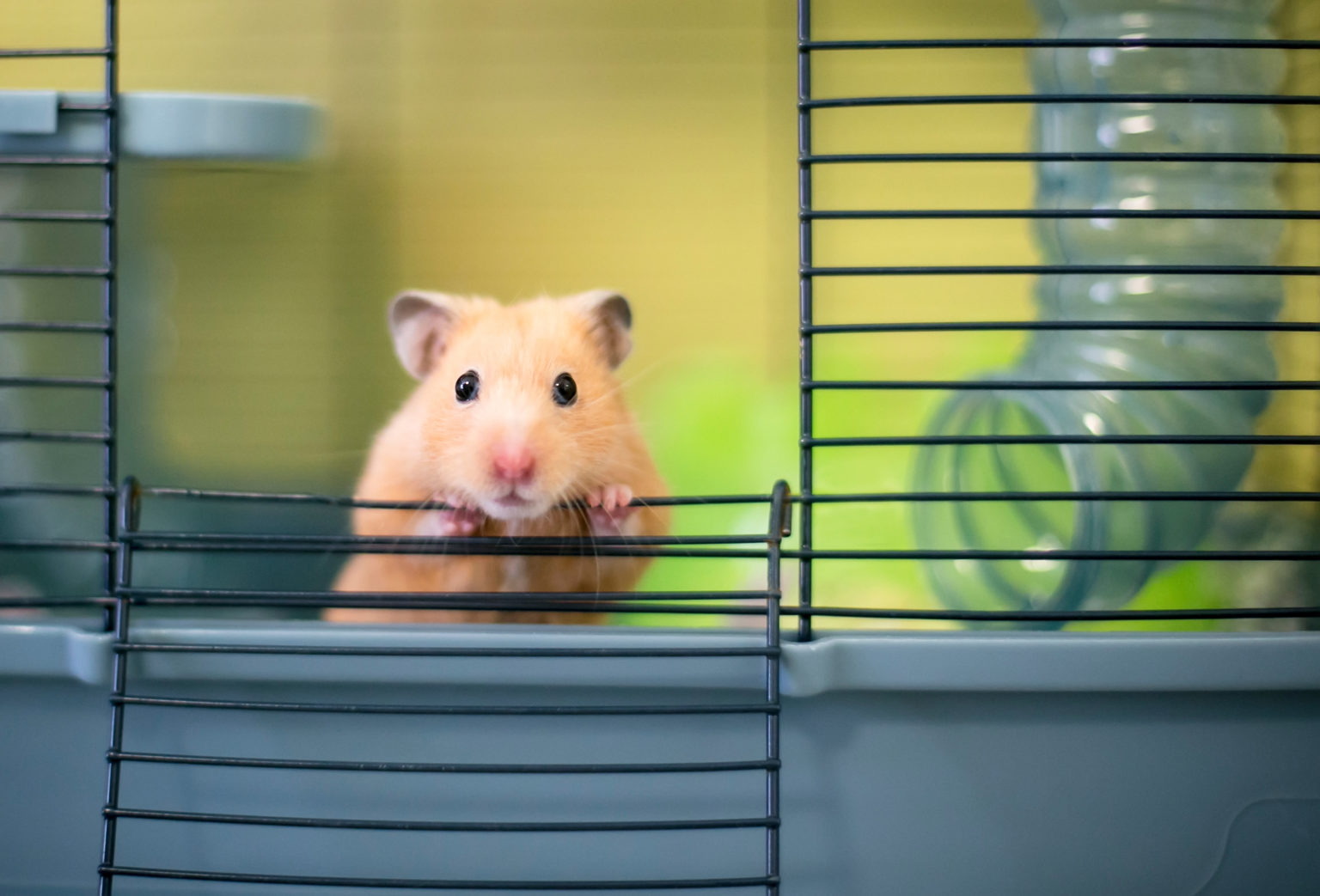 Before Bringing Home Your Pet Hamster