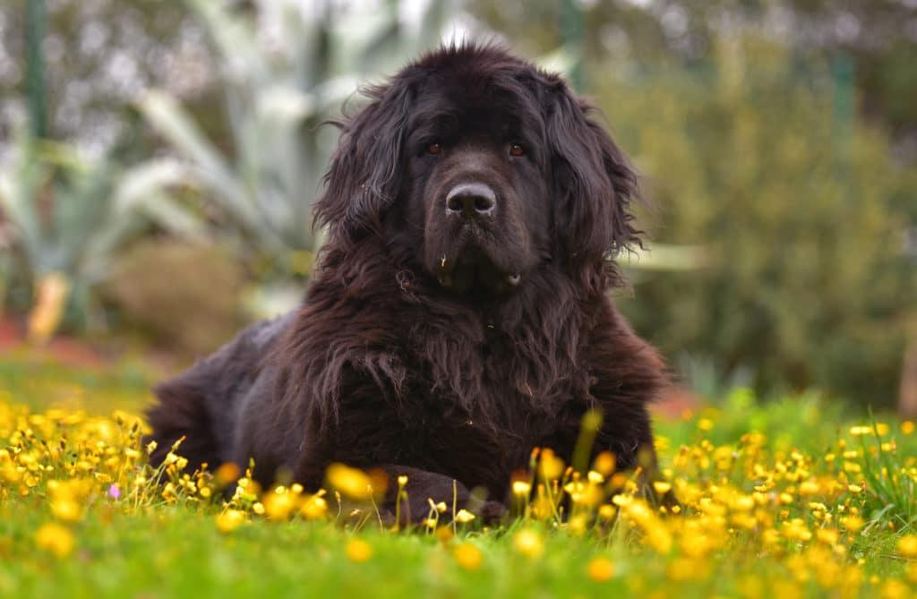 Dog Newfoundland