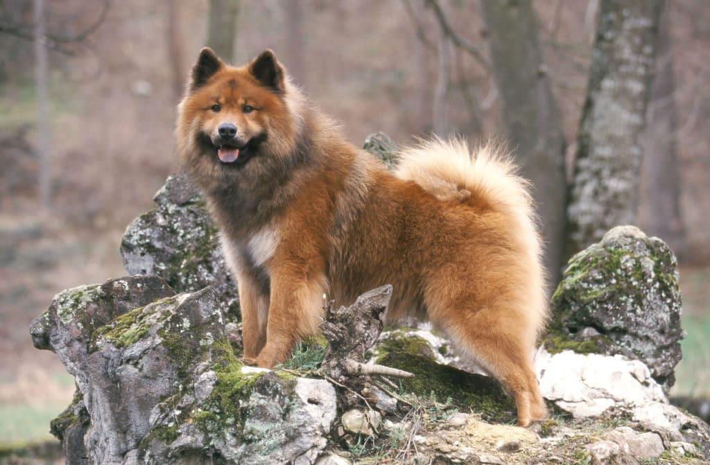 Fluffy Dog Eurasier