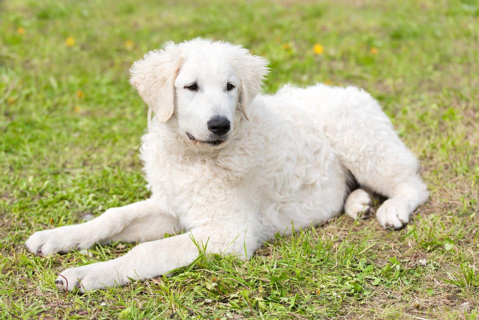 Fluffy Dog Kuvasz