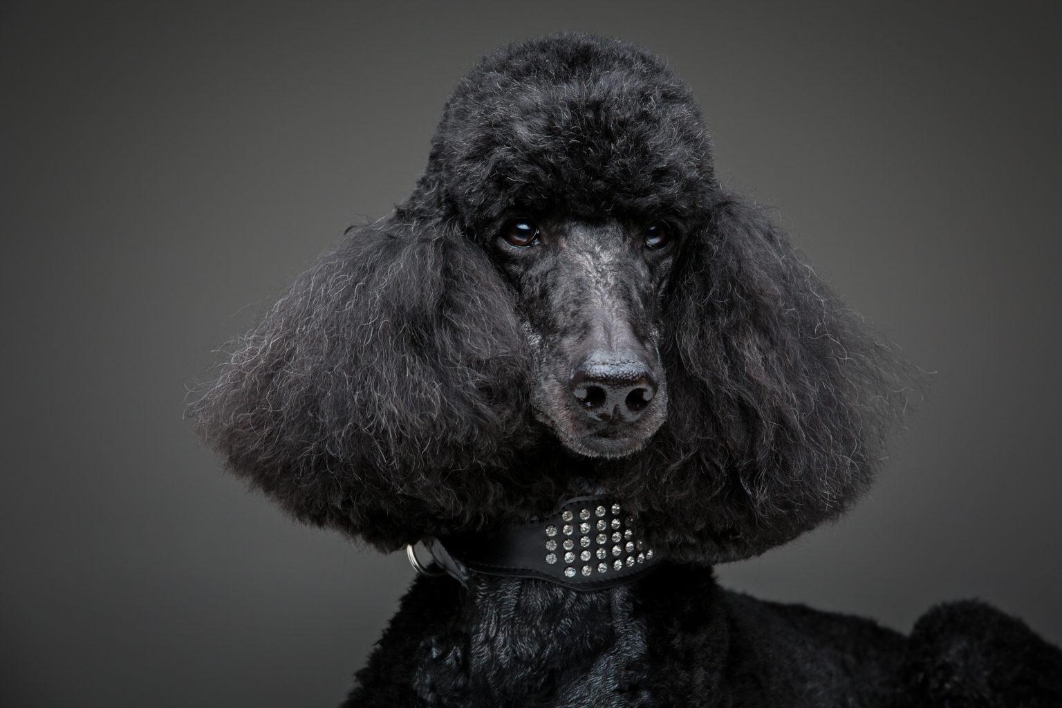 Smartest Dog Poodle