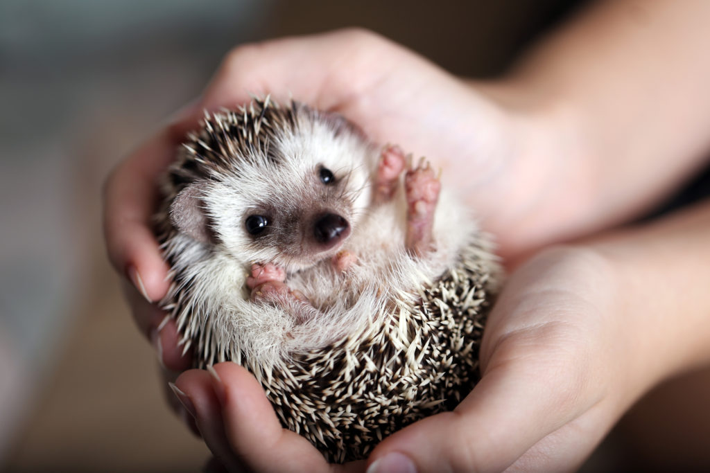 Are Hedgehogs Good Pets?