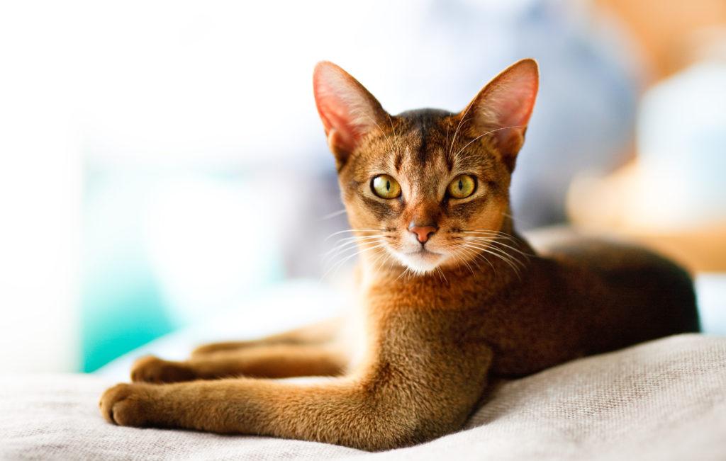 Cat Abyssinian