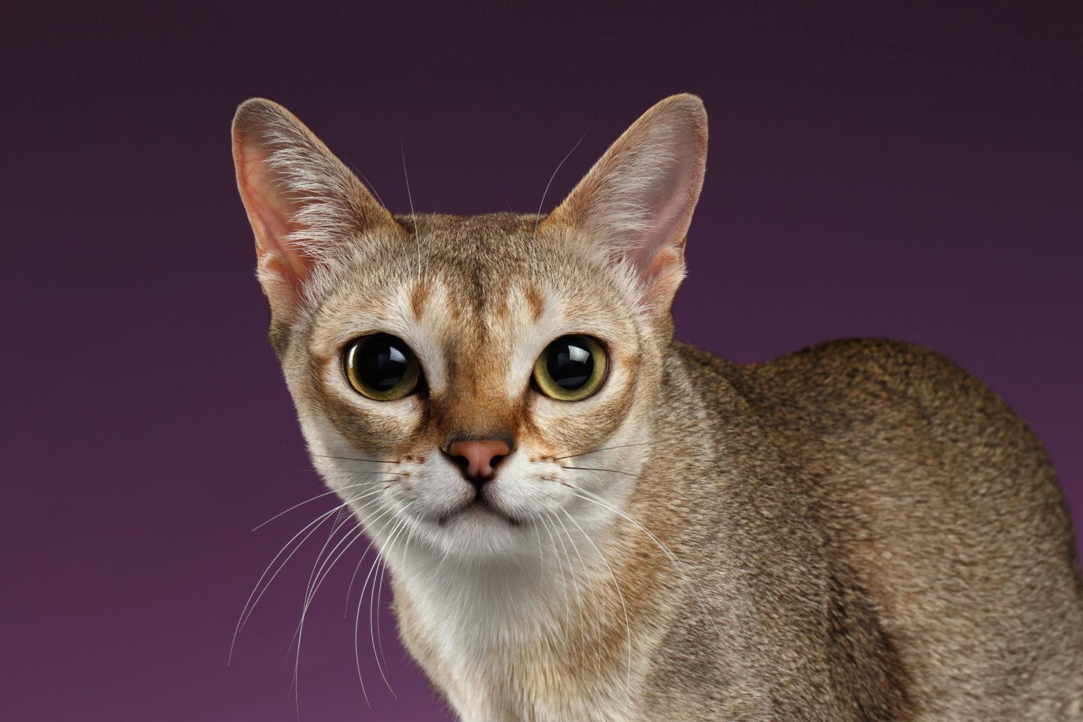 Cat Singapura