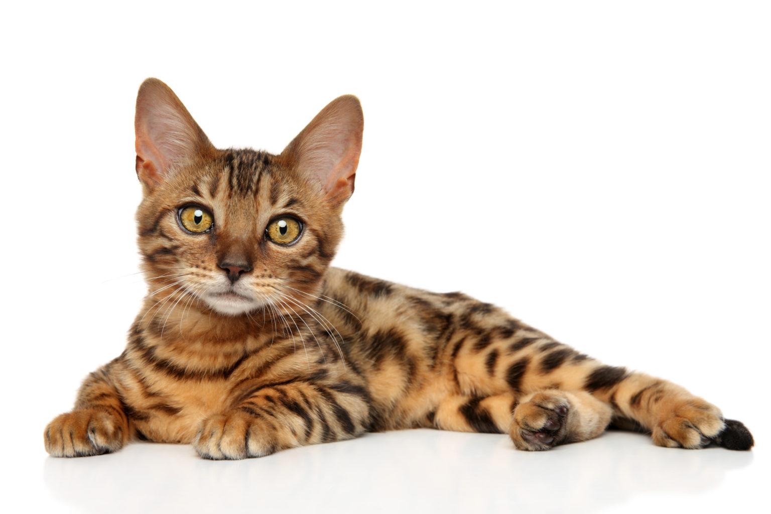 Cutest Cat Bengal