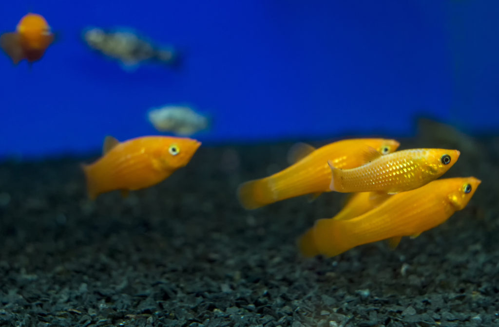 Different Types of Molly Fish