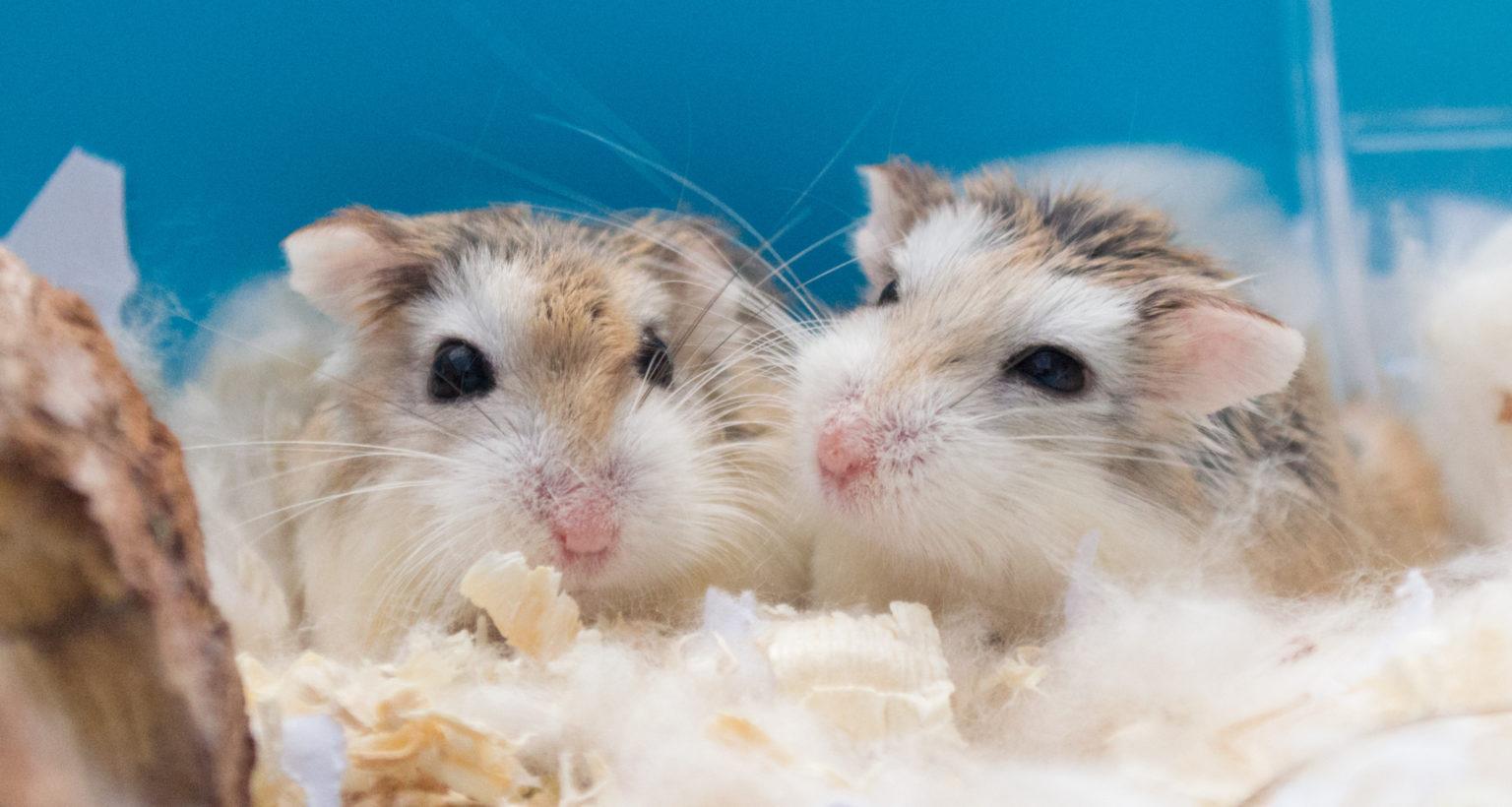 Roborovski Hamster