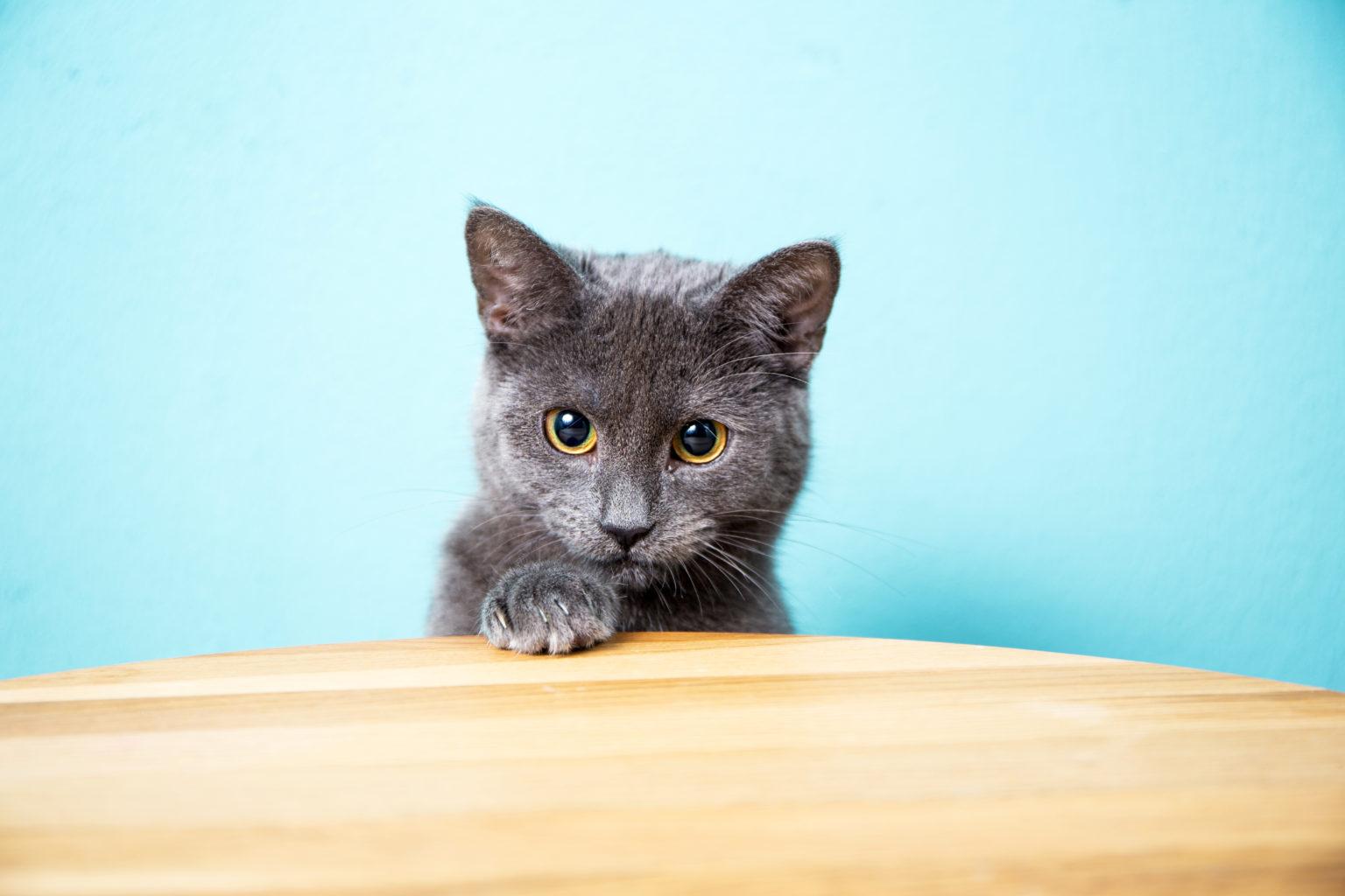 The Cutest Cat Chartreux