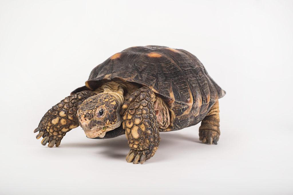 Pet Turtle Terrapins
