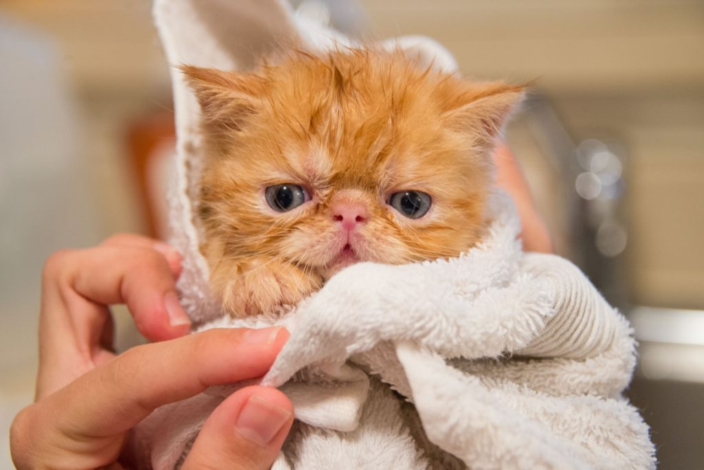 Tips for Your Cat's Bath