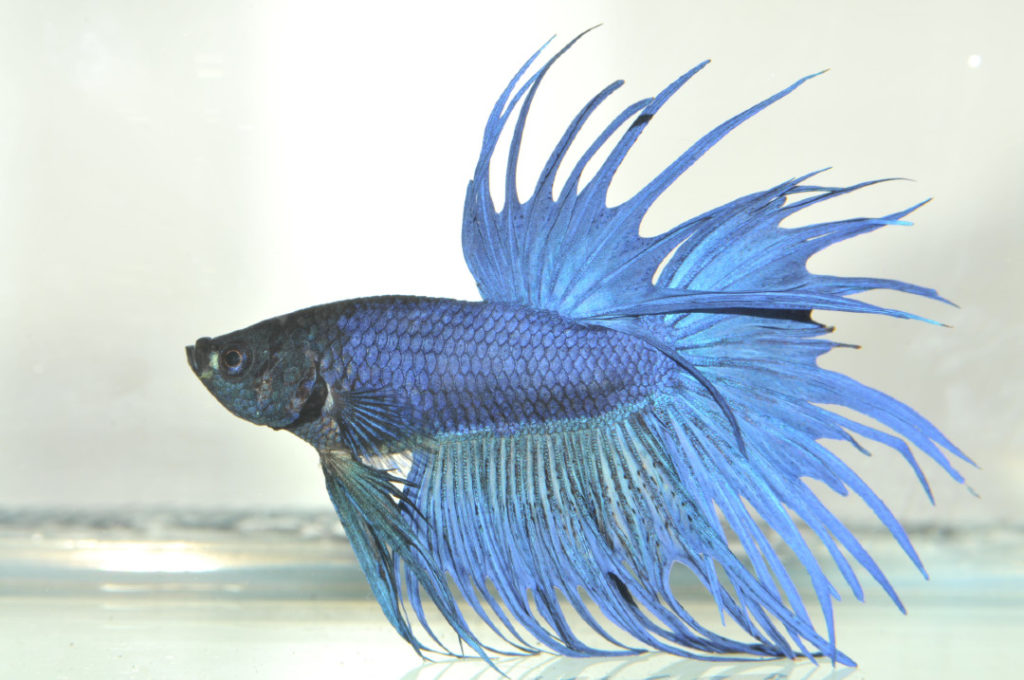 betta fish fin rot