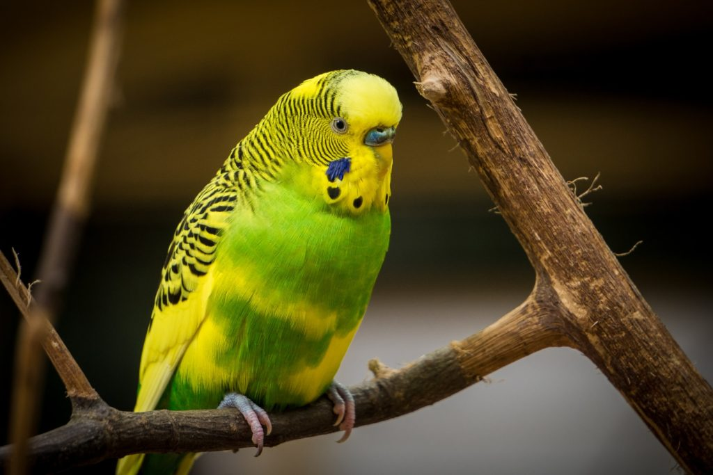 How to Clean Your Parakeet