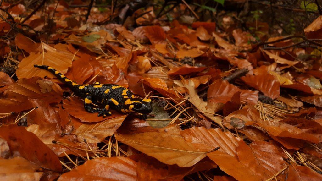 Salamander Pet