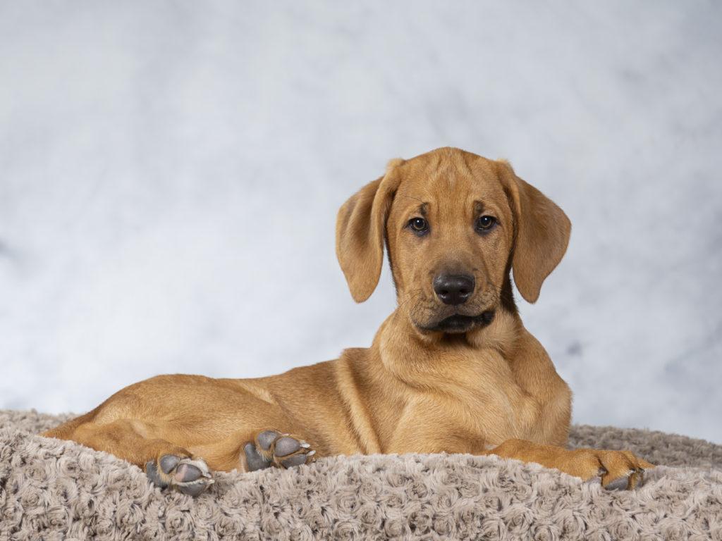 Dog Broholmer