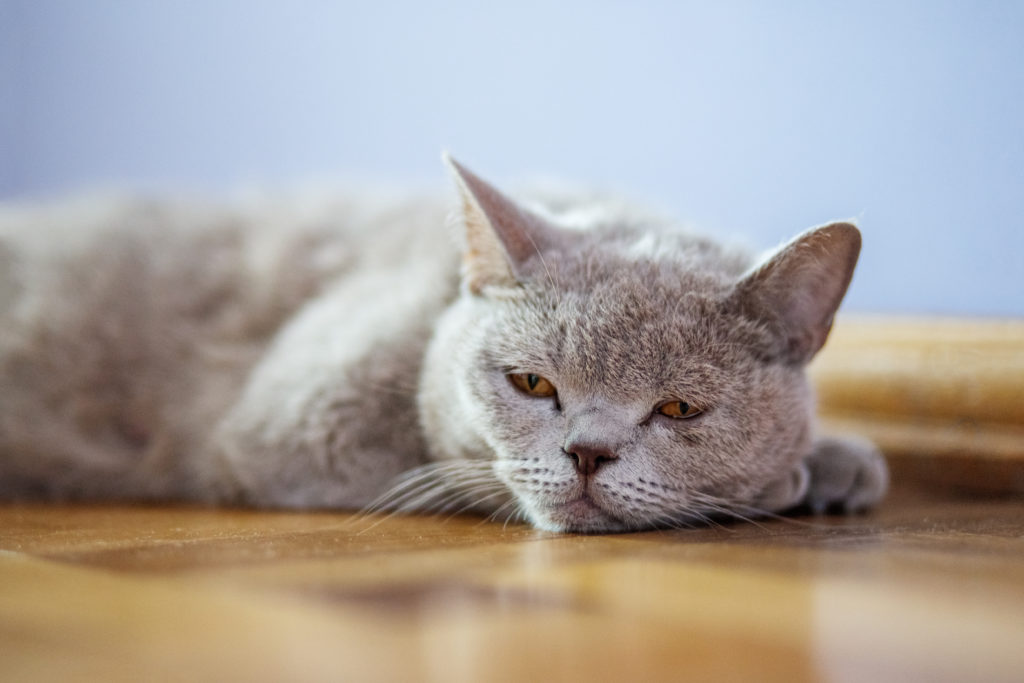 Reasons Your Cat Keeps Throwing Up