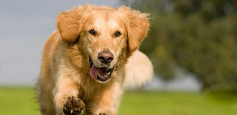 Plant-based Supplements for Golden Retrievers