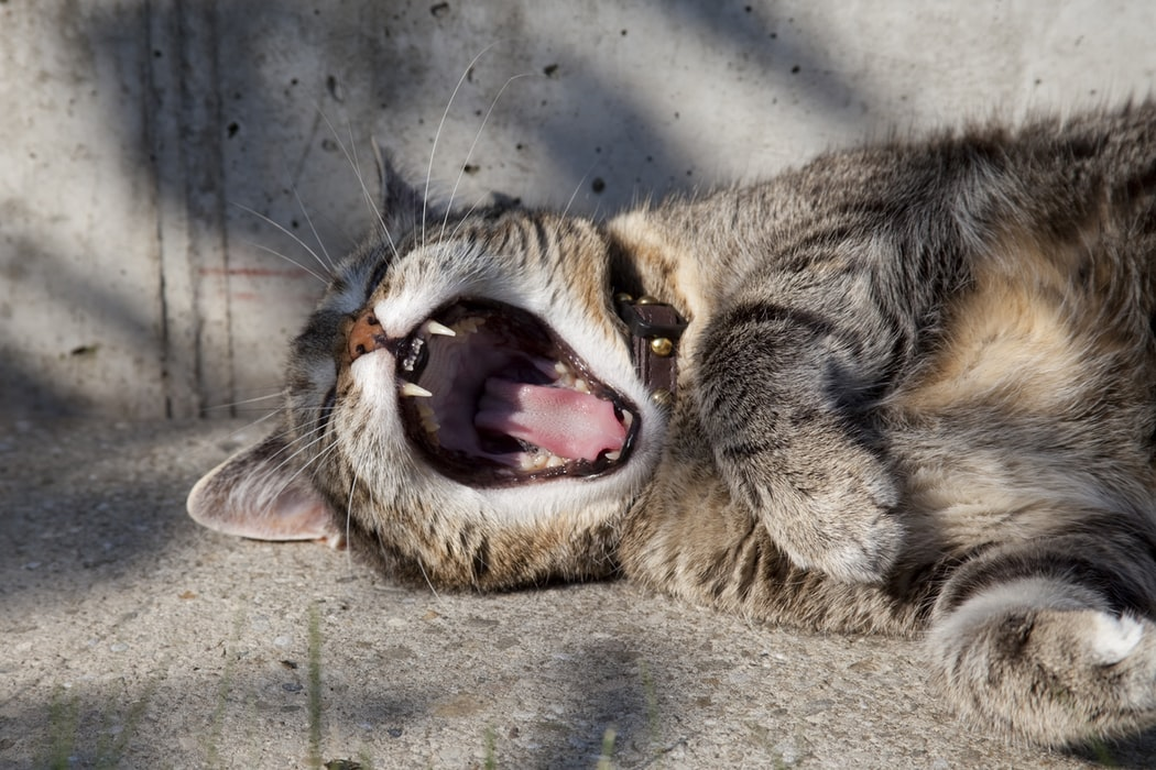 What Can You Do About Your Screaming Cat