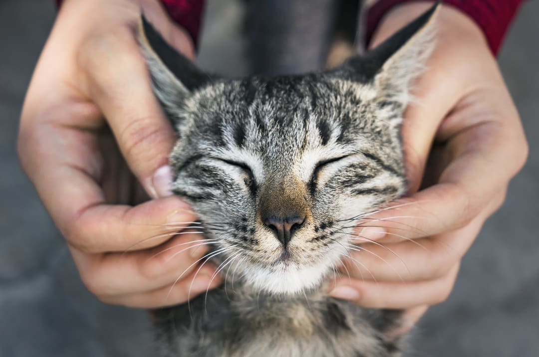 About Oils and Edibles for Cats