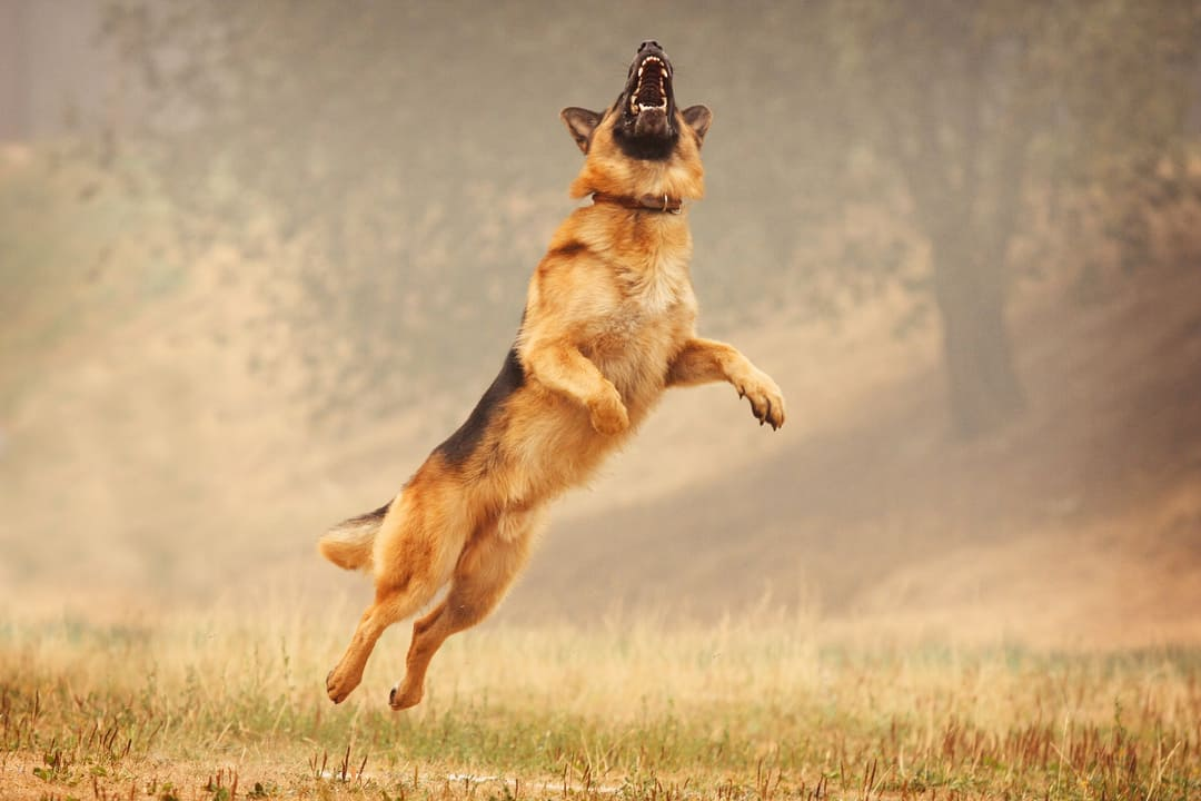 Caring for Your German Shepherd