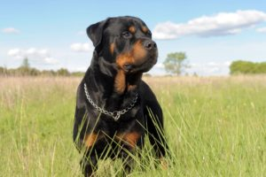 Improve Your Rottweiler's Quality of Life Naturally