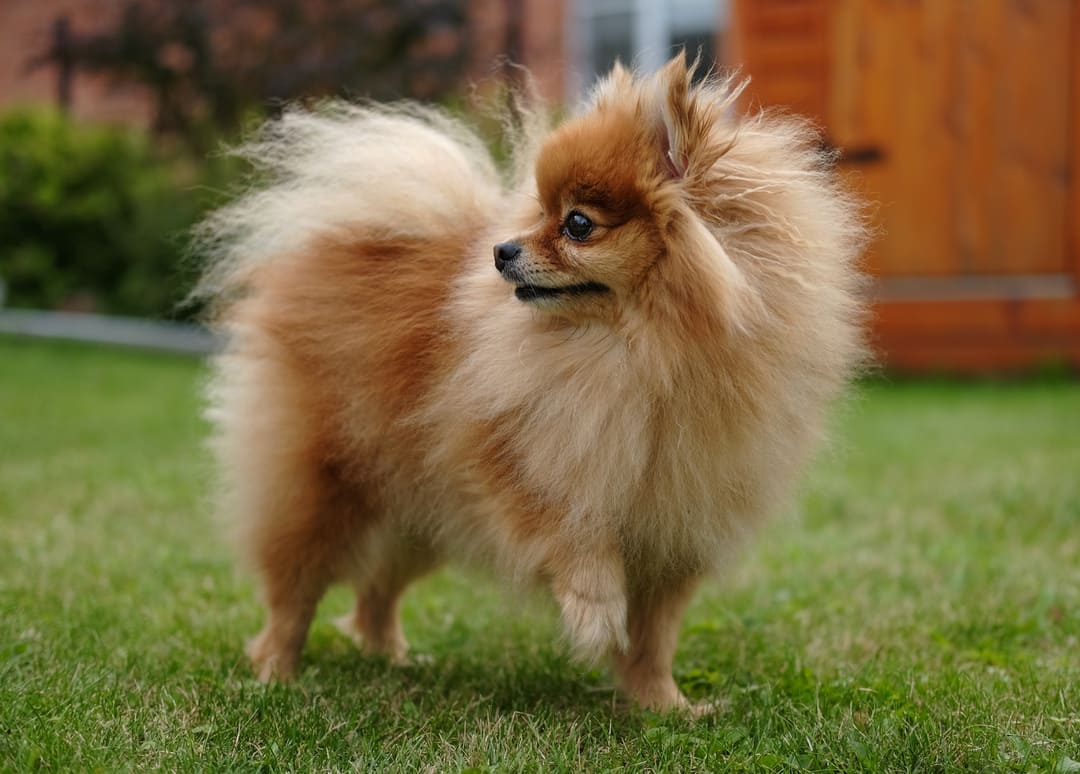 Improving Your Pomeranian's Quality Of Life Naturally: Tinctures