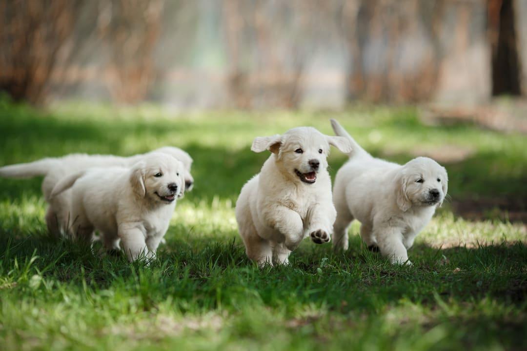 Living With a Labrador Retriever