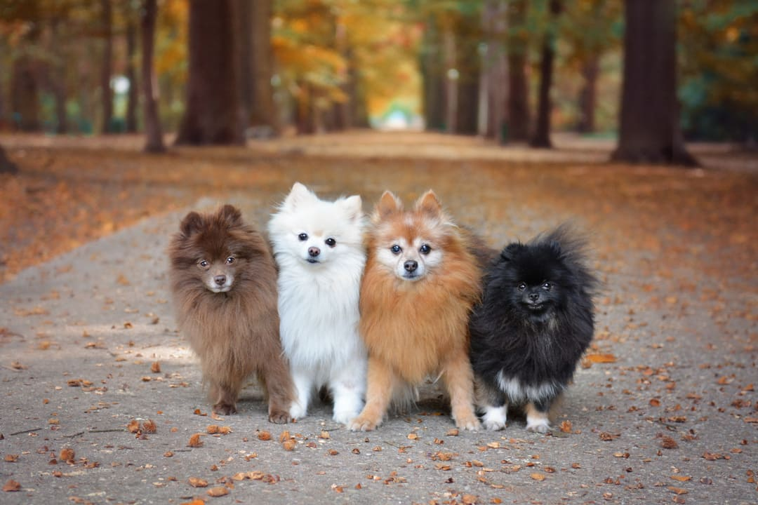 Living With A Pomeranian