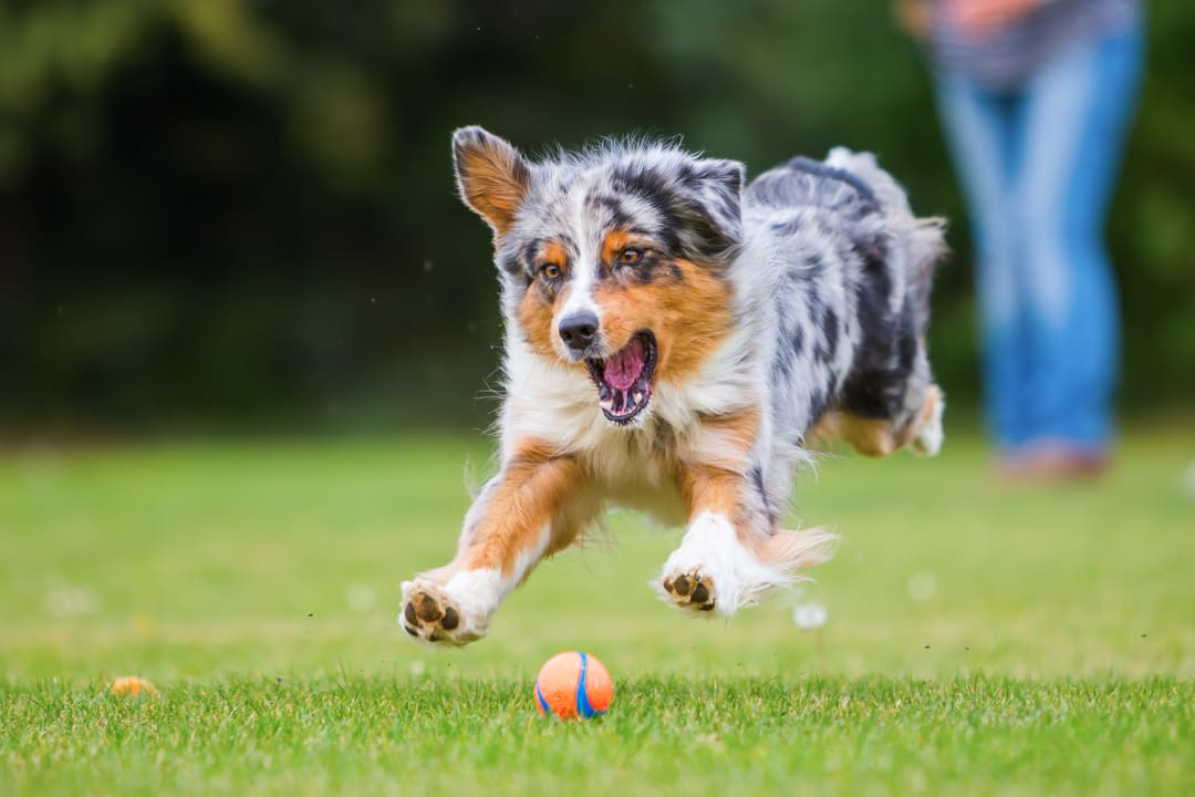 Most Common Health Issues For Australian Shepherds